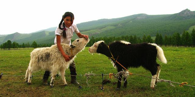 La jeune fille et les veaux