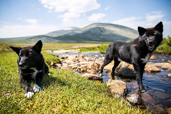 chien sauvage en Mongolie
